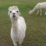 alpaca-6